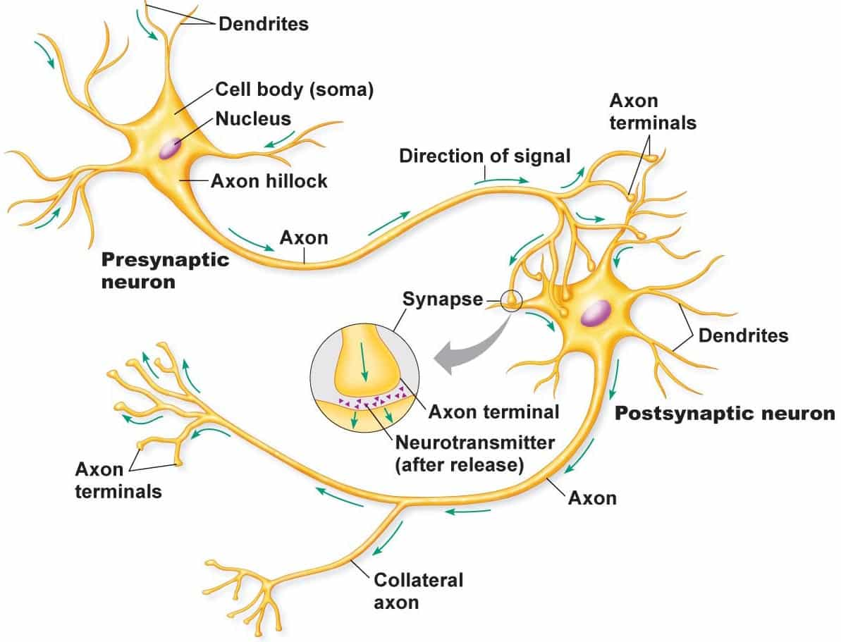 brain science neurons